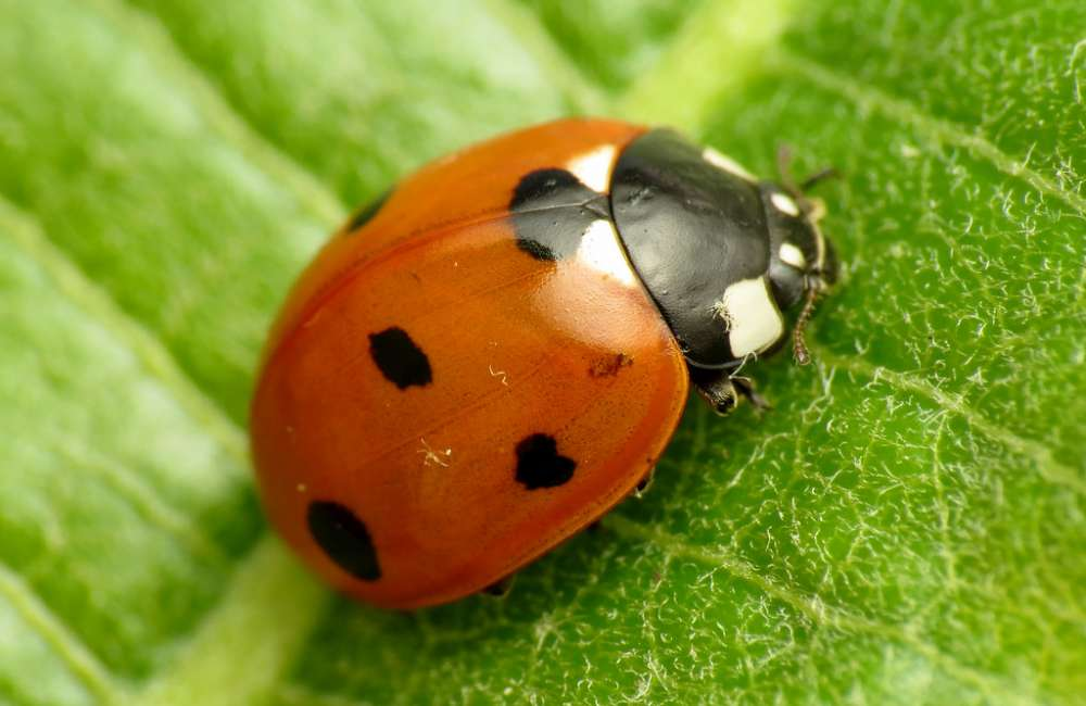 Seven Spotted Lady Beetle