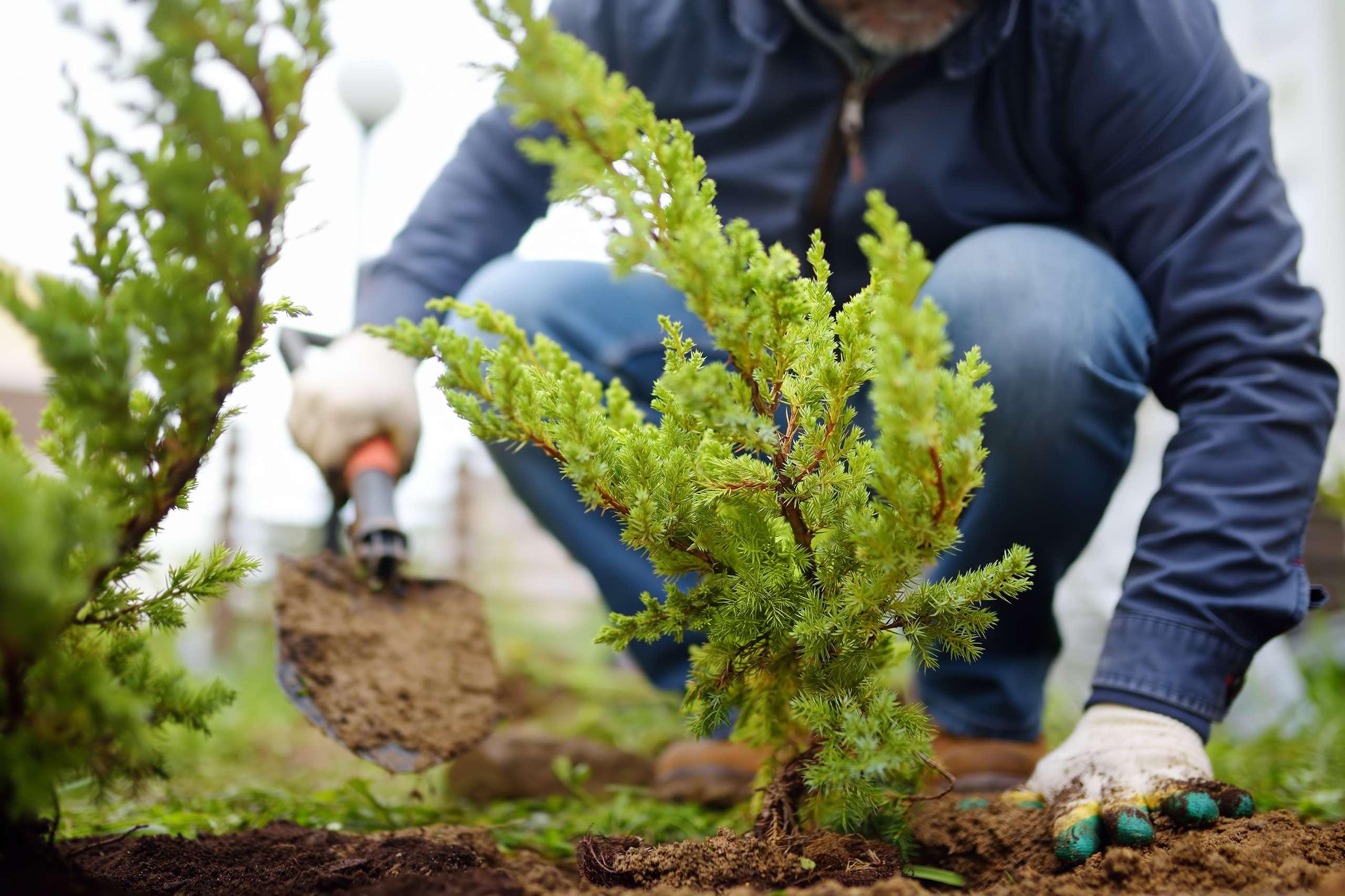 Gardener planting juniper plants in the yard. Seasonal works in the garden